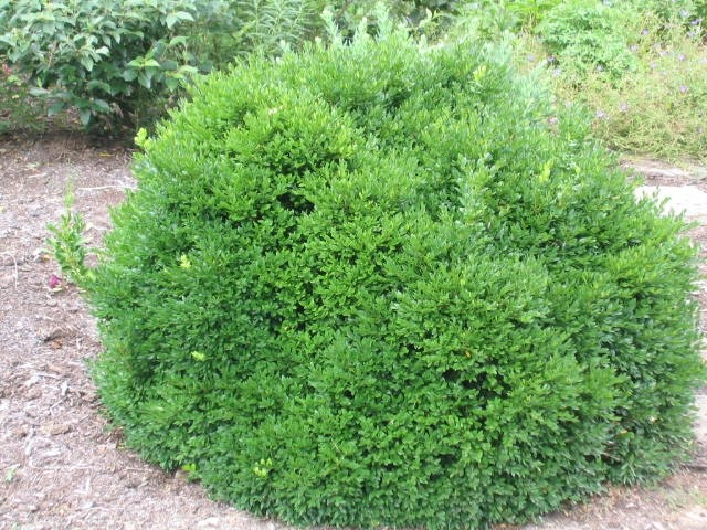 Green velvet boxwood low maintenance evergreen live for Low maintenance green plants