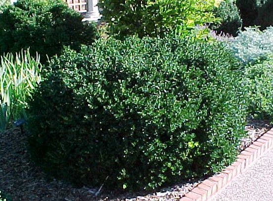 Vardar valley boxwood lot of 10 plants trade gallon for Low maintenance green plants