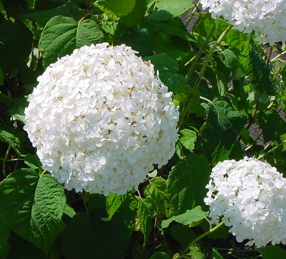 Hydrangea arborescens 39 annabelle 39 trade gallon ebay for Annabelle hydrangea