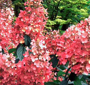 Hydrangea Flowers on About Das   Planting Instructions   Usdazone Map   Our Guarantee